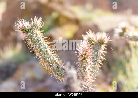 Closeup of Cane Cholla cactus backlight in Main Loop trail in Bandelier National Monument in New Mexico in Los Alamos - Stock Image