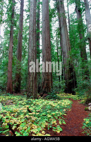 Redwood State Park Northern California Sequoia Sempervirens - Stock Image