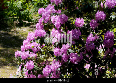 Rhododendron flowers can be seen in the forest environment - Stock Image