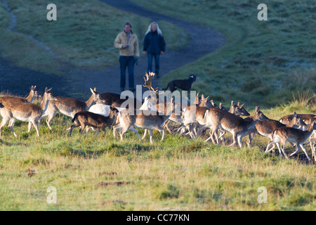 Fallow Deer (Dama dama), Herd Running away from people and dog, Royal Deer Park, Klampenborg, Copenhagen, Sjaelland, - Stock Image