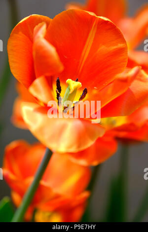 close up of a single tulip flower - Stock Image