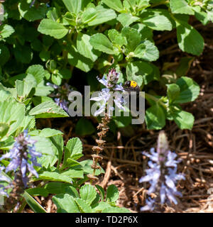Black and yellow Bumble bee visits a Blue Lobster flower Plectranthus neochilus (lobster bush, fly bush, or mosquito bush) is a perennial ground cover - Stock Image