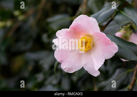 Camellia x williamsii 'J.C. Williams' flowers. - Stock Image