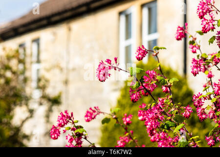 The pink spring flower clusters of Ribes sanguineum or flowering currant in a front garden with the cottage out of focus in the background - Stock Image