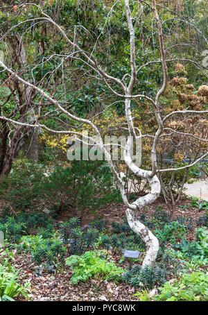 ASHEVILLE, NC, USA-10/25/18: A European White Birch in the  NC Arboretum. - Stock Image