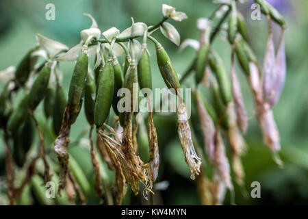 Hosta ripening seeds, close up - Stock Image