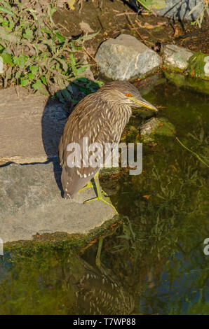 Immature Black- crowned Night Heron (Nycticorax nycticorax) standing at shore of pond, Aurora Colorado US. Photo taken in July. - Stock Image