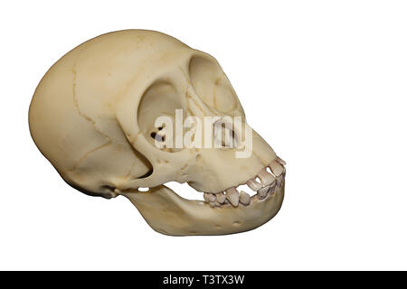 Young Chimpanzee Skull - Stock Image