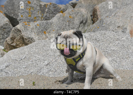 Longrock, Cornwall, UK. 16th Apr, 2019. UK Weather. Hot and sunny on the beach at Longrock, Cornwall for Titan the Pug's lunchtime walk. Credit: Simon Maycock/Alamy Live News - Stock Image