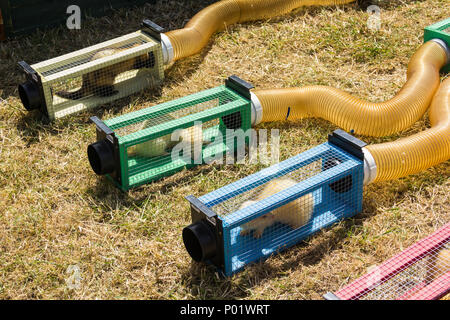 Ferrets in their starting stalls for a ferret racing event at the Arthington show, West Yorkshire in 2017. - Stock Image