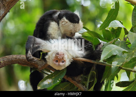 White-faced capuchin monkeys (cebus capucinus) grooming. Tropical dry forest, Palo Verde National Park, Guanacaste, - Stock Image