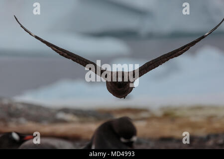 A skua cruises around a penguin colony on the Antarctic peninsula - Stock Image