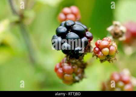 Bramble or Blackberry (rubus fruticosus), close up of a ripe berry amongst unripe ones. - Stock Image