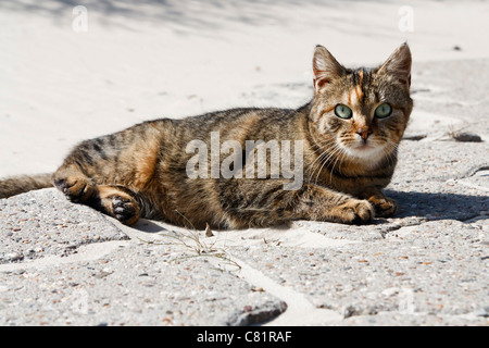 Portrait with copy space of a domestic cat looking into the camera. - Stock Image
