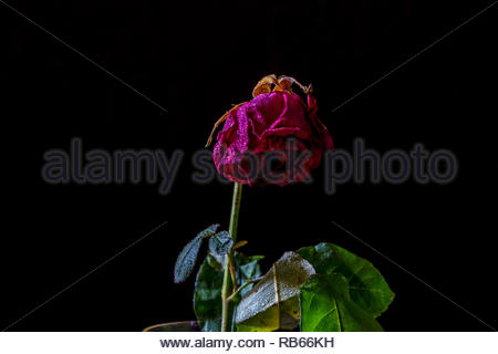 A single wilting rose isolated on a black background lit by natural light. - Stock Image