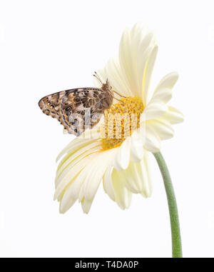 Painted lady butterfly on a pale gerbera flower - side view - Stock Image