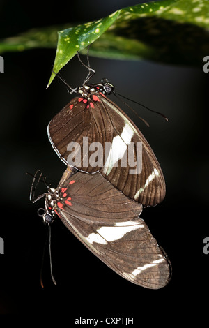 Sara Longwing Butterfly - Mating - Stock Image