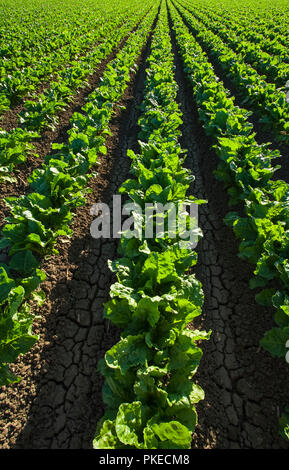 Agriculture - Mid growth sugar beet field in early morning light / near Firebaugh, San Joaquin Valley, California, USA. - Stock Image