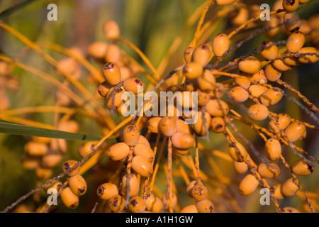 seeds matla - Stock Image
