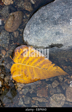 Black Cottonwood leaf. Yosemite Valley, Yosemite National Park, Mariposa County, California, USA - Stock Image