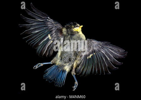 Dead bluetit with wings spread isolated against a black background © Jeremy Graham-Cumming - Stock Image