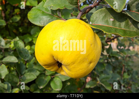 Yellow apple quince on the tree - Stock Image