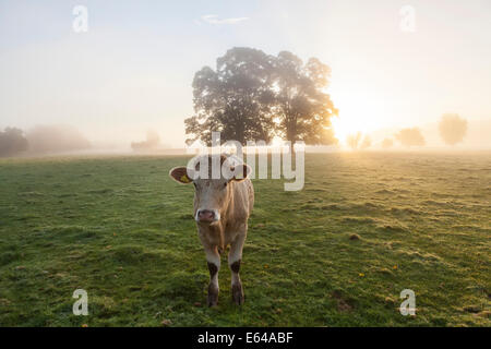 Cow in field, sunrise, Usk Valley, South Wales, UK - Stock Image