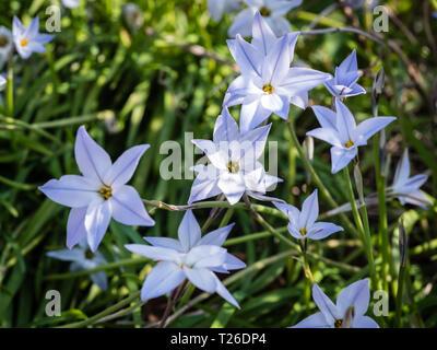 The spring flowering perennial plant Ipheion uniflorum in dappled light. - Stock Image