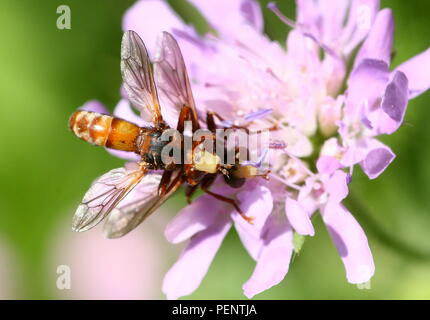 Mating European Common thick-headed Fly (Sicus ferrugineus - Conopidae)  on a pink mist flower - Stock Image