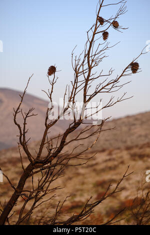 PineTrees ( Pinus halepensis ) with Cones after only just Surviving a Recent Mountain Fire. Saronida, Greece. - Stock Image