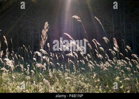 Tall grasses at Audubon Corkscrew Swamp Sanctuary, Naples, Florida, USA - Stock Image
