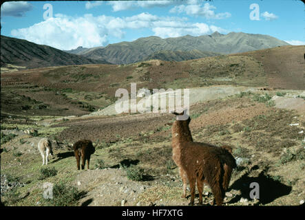 Lamas and agriculture outside of Cuzco, Peru. - Stock Image