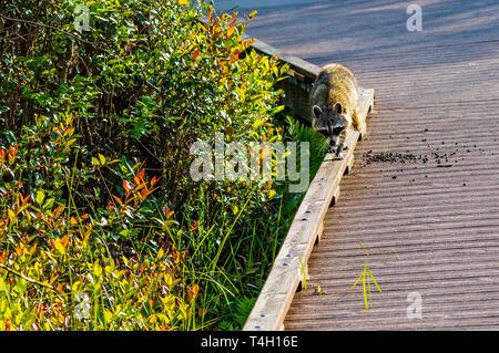 An American Raccoon walks along a board above a swamp. - Stock Image