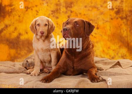 Chesapeake Bay Retriever, male dog and puppy, 6 years, 10 weeks|Chesapeake Bay Retriever, Ruede und Welpe, 6 Jahre, - Stock Image
