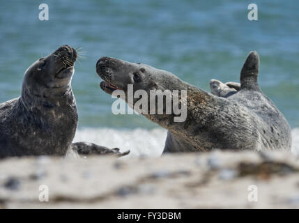 Close up of pair of gray seals (Halichoerus grypus) communicating at the beach at Dune, Helgoland, Germany - Stock Image