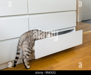 Curious young male Bengal cat trying to get in to chest of drawers - Stock Image