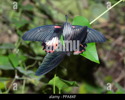 Captive bred Great Mormon butterflies, Papilio memnon, mating at Buckfast Butterfly farm, Devon, UK - Stock Image