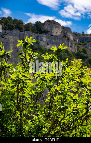 Fig tree with young green fruits in sunlights, nature background - Stock Image