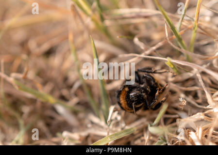 Poole, UK. 19th July 2018. Heatwave with very dry weather continues in the UK. Grass is turned brown and a bumble-bee is found dead. Credit: Thomas Faull/Alamy Live News - Stock Image