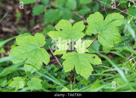 Acer pseudoplatanus (Sycamore maple or just Sycamore) tree leaves on the ground in woodland in Spring (May) in West Sussex, England, UK. - Stock Image