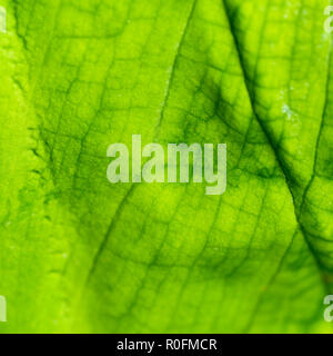 Macro photo green leaf surface - garden plant. - Stock Image