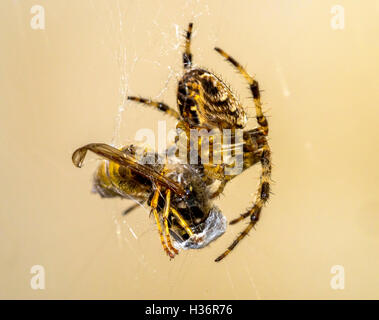 Female Araneus diadematus Garden Spider with  captured wasp in silk threads - Stock Image