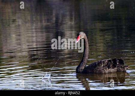Black swan, symbol of unexpected, turns at splash reflecting calm at sudden change - Stock Image