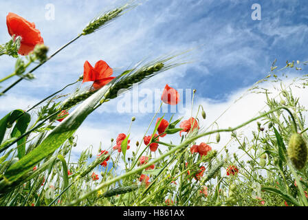 poppies under cloudy sky in summer - Stock Image