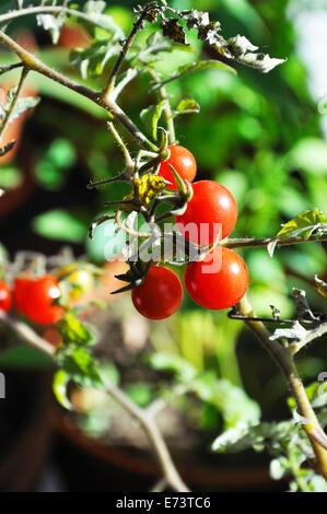 Cherry tomatoes ripening on wine - Stock Image