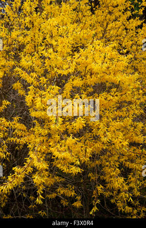 Forsythia x intermedia 'Lynwood' shrub in flower - Stock Image