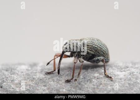 Gorse Seed Weevil (Exapion ulicis) resting on stone. Tipperary, Ireland - Stock Image