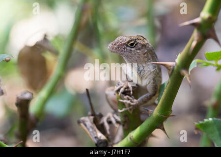 Cuban brown anole on rose bush thorns - Stock Image