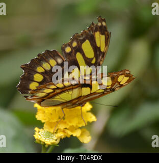 Butterfly in the butterfly house at Tropical Wings Zoo, Chelmsford, Essex, UK. This zoo closed in December 2017. - Stock Image