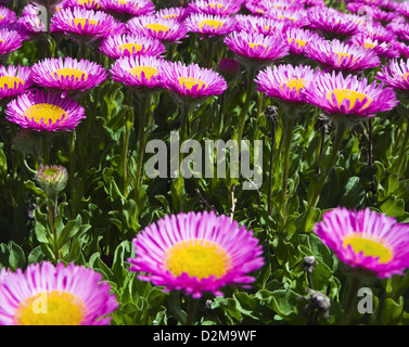purple and yellow asters - Stock Image